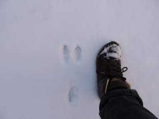 """Waarschijnlijk een pootafdruk van de """"snowshoe hare"""""""