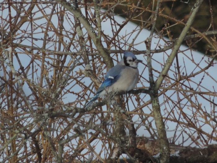 Blue Jay, een erg mooi beest. Net wat groter dan een merel.