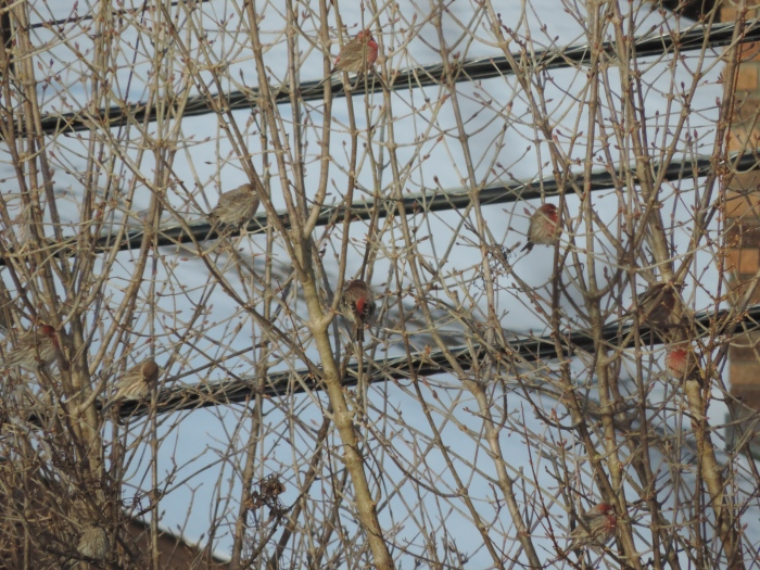 Een groepje House Finches