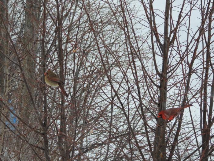 Northern Cardinals - vrouwtje links en mannetje rechts