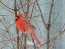 Northern Cardinal - mannetje