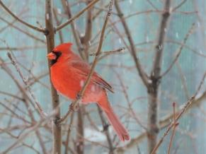 Northern Cardinal - mannetje