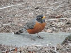 Red Robin - een wat grotere versie van onze roodborst