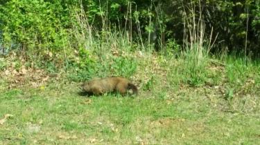 Een groundhog. Zo'n 80 centimeter lange homp.