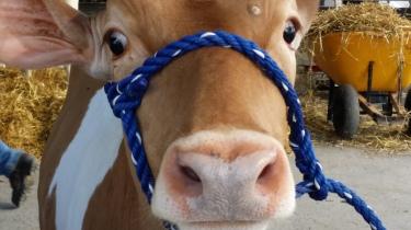 De mooiste koe