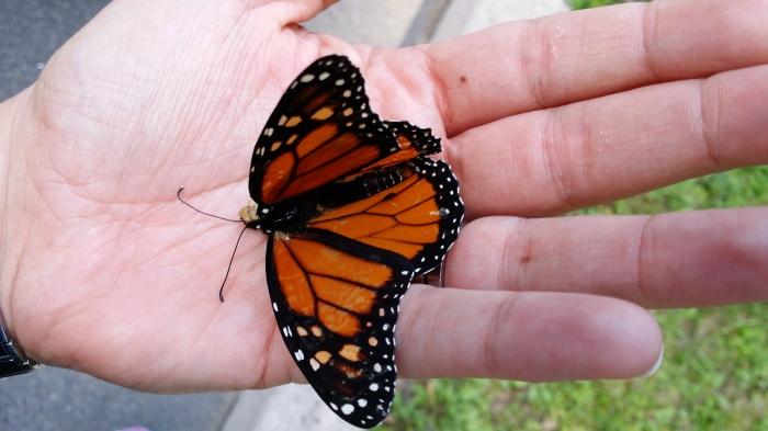 De 'monarch' vlinder