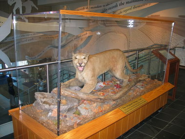 Een van de laatste bergleeuwen, opgezet en te zien in het museum in Beaver Stadium