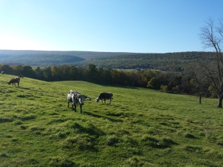 Texas Longhorns in de wei