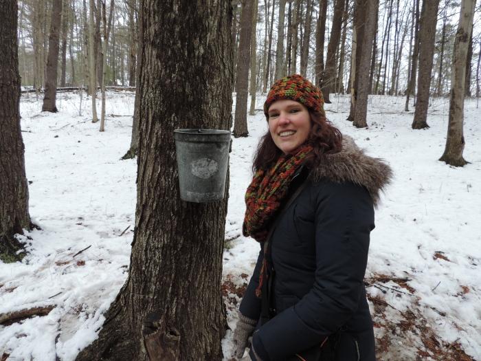 Het aftappen van het sap van de maple trees
