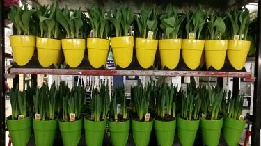 Tulpen in de bouwmarkt. Het is haast kunst