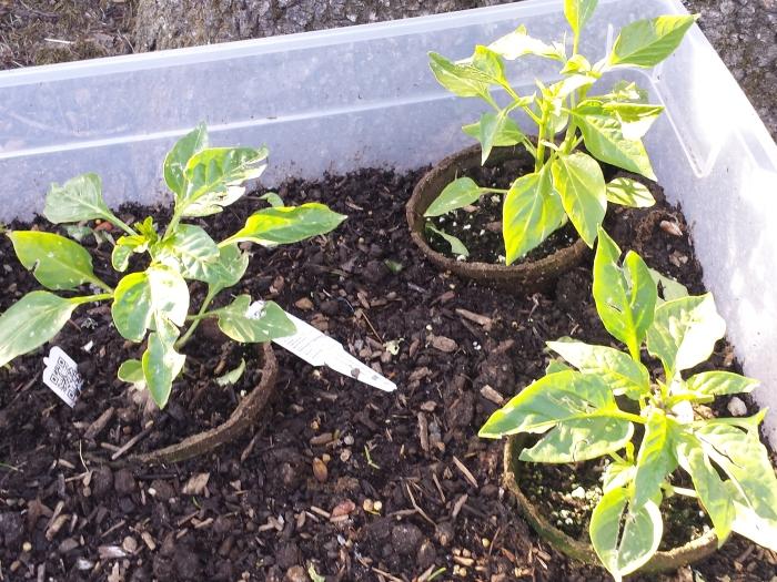 De paprikaplantjes zijn wat beschadigd door de hagel