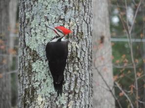Dag later. Grote rood gekuifde specht op een boom in de achtertuin