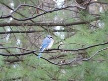En nog een blue jay
