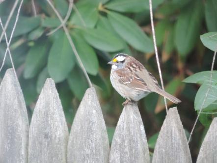 De White Throated Sparrow op het hek