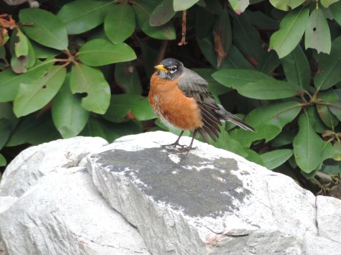 Poserende Red Robin