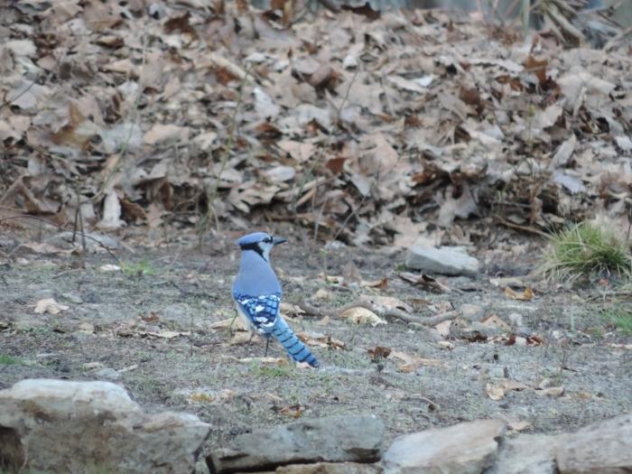 Een van mijn favoriete vogels: de blue jay. Mooi ding he...