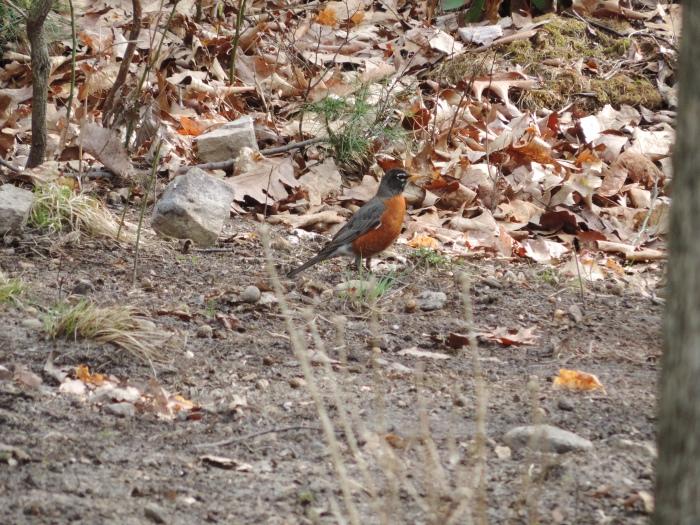 De Red Robin (de Amerikaanse roodborst, ter grootte van een merel)