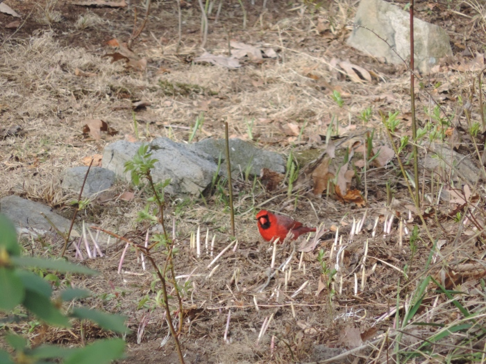De Red Cardinal (lijkt op 'Red' van Angry Birds). Die vogel wil maar niet netjes poseren...