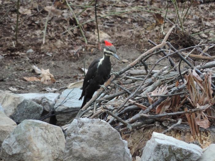 En de 'Pileated Woodpecker' (oftewel de gekuifde specht). Het is een enorm ding van wel 42 centimeter!