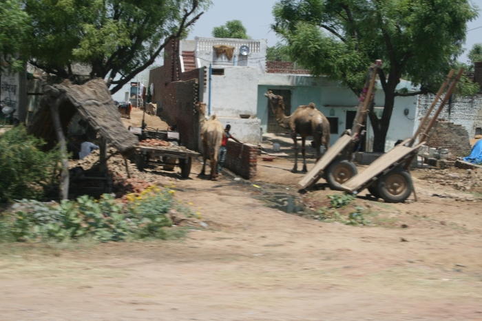 Een willekeurige kameel onderweg