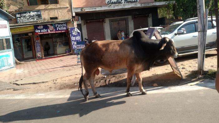 Onderweg zie je soms gewoon loslopende koeien