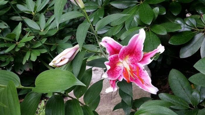 Een roze met witte lelie