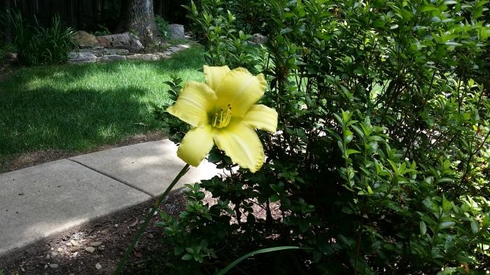 Een gele lelie