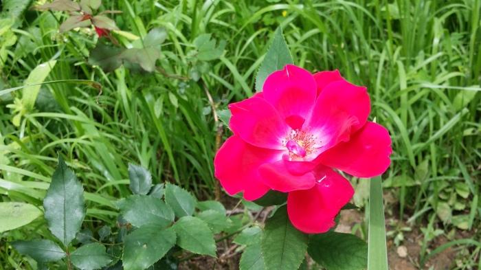 Dan nog een roos in bloei...