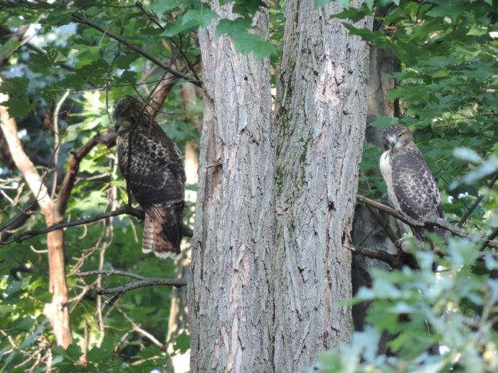 Twee roofvogels - links de grotere mama-vogel