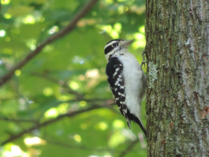 Een Downy Woodpecker