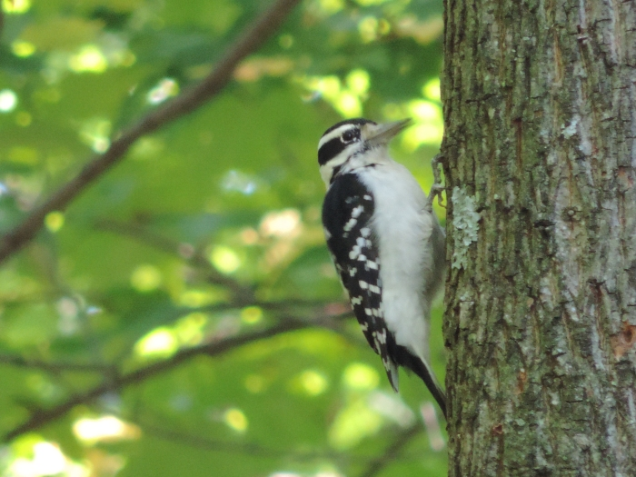 Een Downy Woodpecker