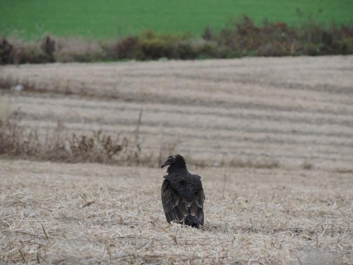 Een Turkey vulture ('kalkoengier'), een jonkie - nog met een zwart hoofd