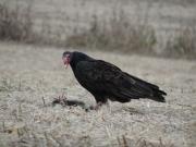 De volwassen Turkey vulture, bezig met een dood stinkdier