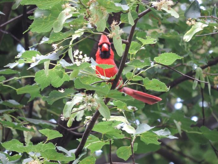 """Northern Cardinal: """"ik zie je wel hoor!"""""""