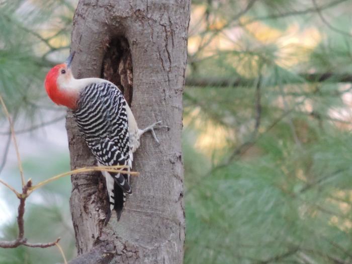 Een Red-bellied woodpecker. Mooi beest he