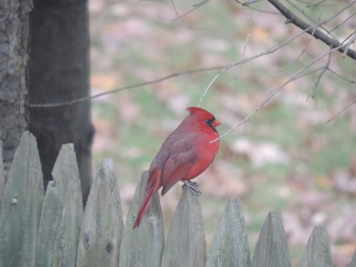 En mijn favoriet: de Northern cardinal...