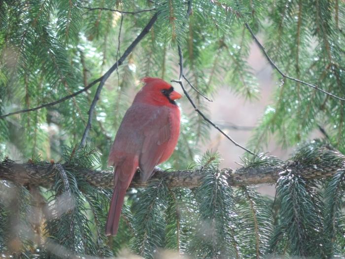 En nog een keertje de Northern cardinal... Mooi ding he...