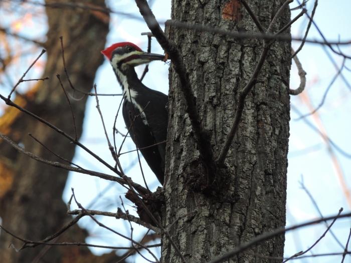 Meneer Pileated Woodpecker