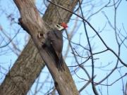 Mevrouw Pileated Woodpecker