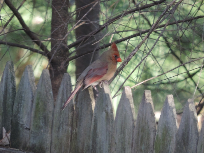 Mevrouw Northern Cardinal