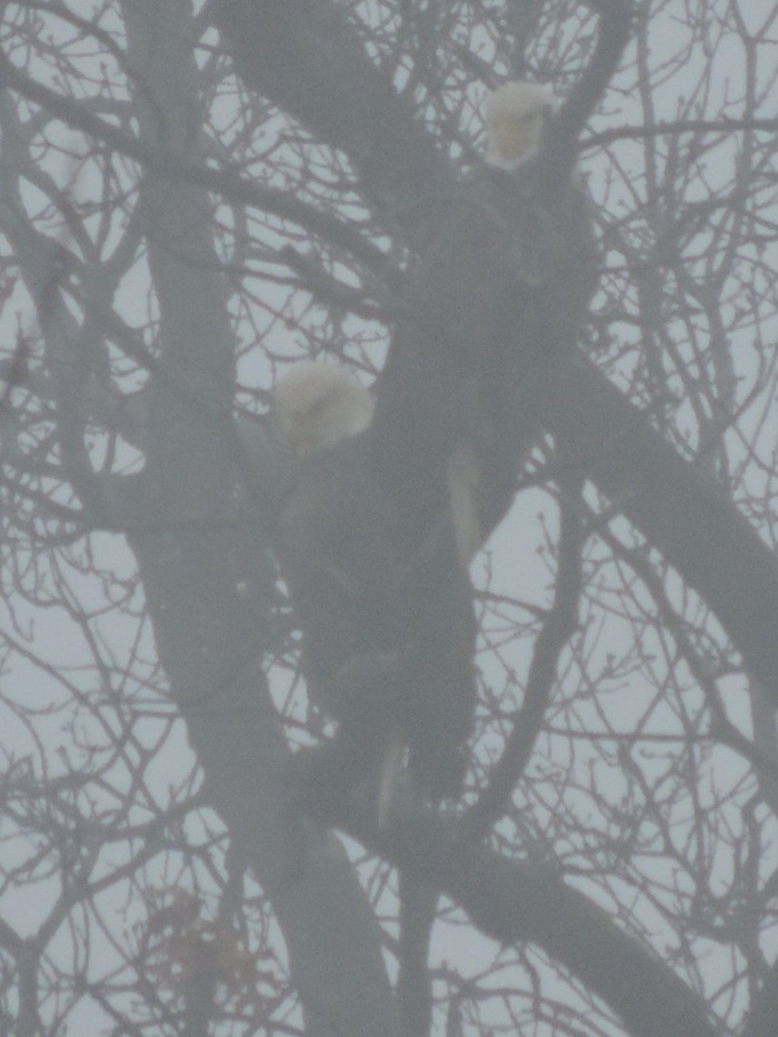 Bald Eagles in de mist