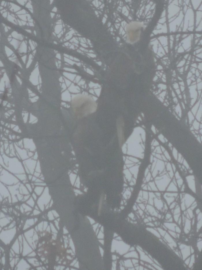Bald Eagles in de mist