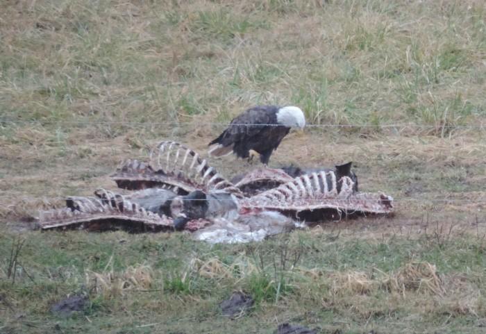 De Bald Eagle met z'n karkas