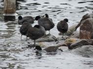 Meerkoeten in Lake Minnetonka!