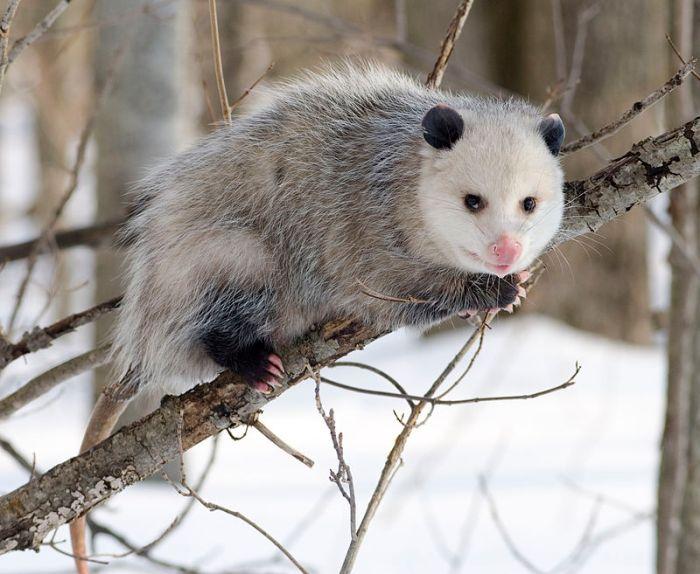 Een Noord-Amerikaanse opossum