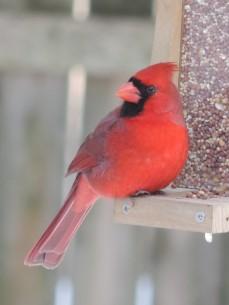 'Zie mij eens mooi rood zijn' - de Northern Cardinal