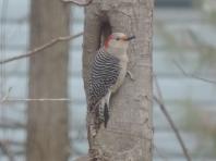 Red Bellied Woodpecker - vrouwtje