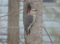 Red Bellied Woodpecker - vrouwtje