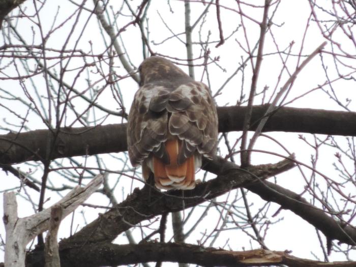 Duidelijk een Red tailed hawk!