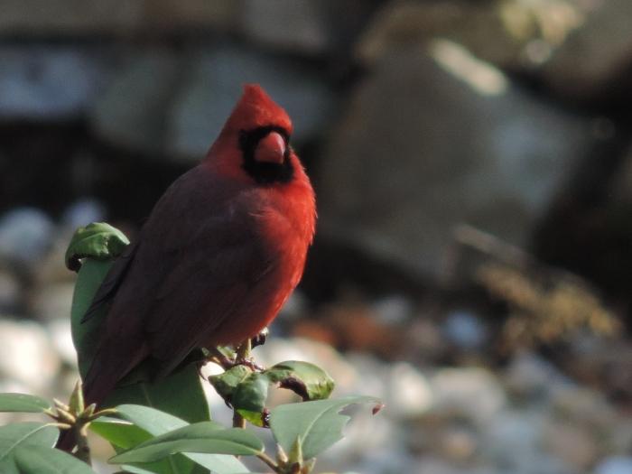 Northern Cardinal - omdat het kan